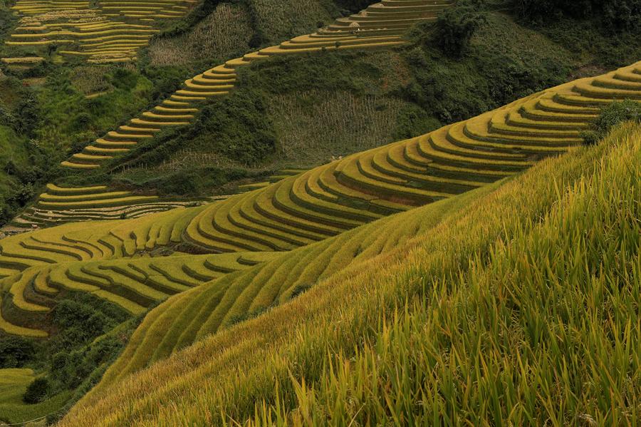Рисовые поля в северной горной провинции Йенбай.