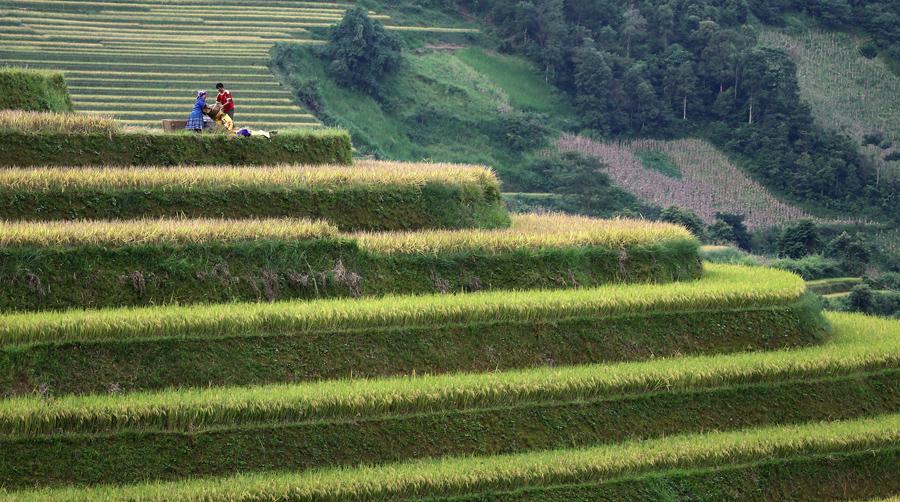Жители собирают урожай риса во Вьетнаме.