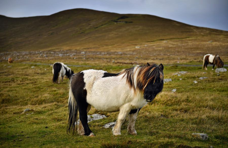 Пони на острове Фула, Шотландия, 1 октября 2016 года.