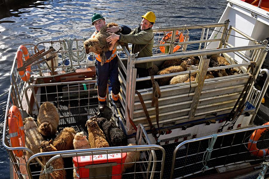 Еще одна лодка, на этот раз с овцами.