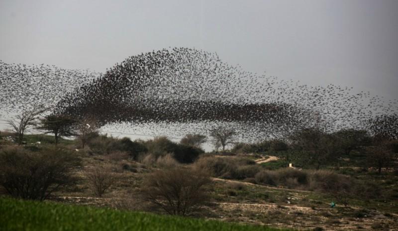 Потрясающие фотографии миграции скворцов по всему Израилю
