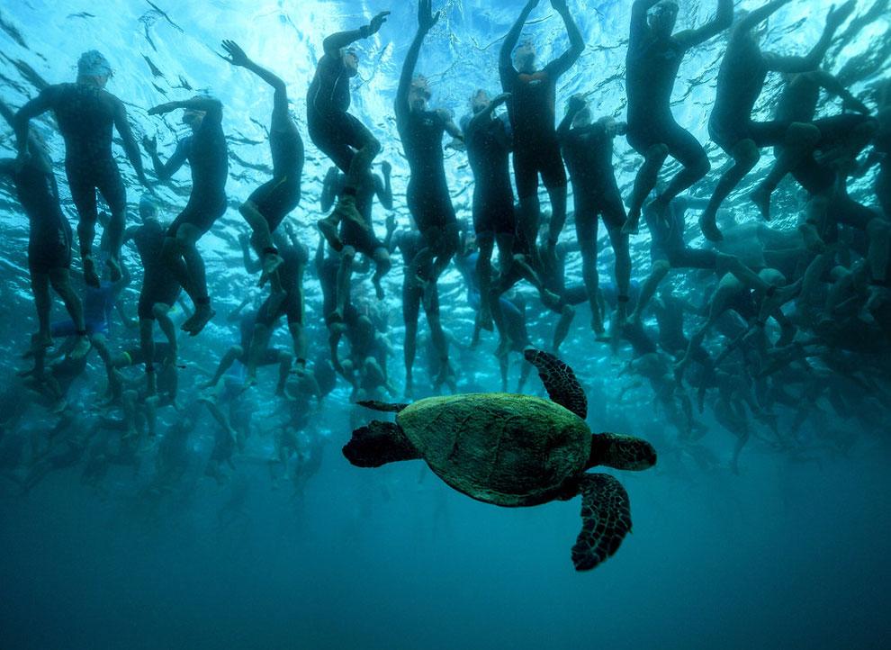 В этом рекламном фото от Ironman  изображена зеленая морская черепаха, также известная как Хону. Она является символом удачи и долголетия в культуре гавайцев. Этот родной друг немного загадочно смотрит на 2300 спортсменов, ожидающих сигнала старта выхода на триатлонную тропу. Им предстоит преодолеть более 140 миль на чемпионате мира 8 октября 2016 года. (Фото Дональд Мирелл)