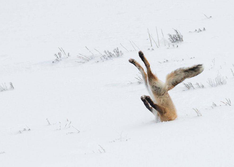 «Бородатая» лисица в Йеллоустонском национальном парке, штат Вайоминг, декабрь 2015 г. Это фото Анджелы Бельке стало абсолютным победителем  в 2016 году Comedy Wildlife Photography, в категории «На земле».