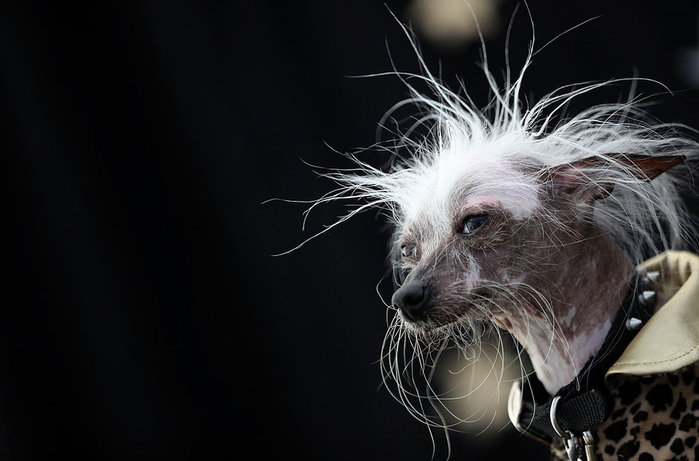 Китайская хохлатая собака, штат Калифорния, во время конкурса уродливых собак в 2016 году.