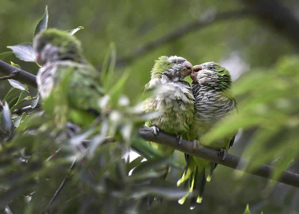 Два попугая-монаха, также известные как квакеры, отдыхают на дереве в Атена-Парке, Мадрид (15 сентября 2016). Эти попугаи стали проблемой для местной фауны, таких как голуби и воробьи, а, кроме того, обеспокоили фермеров. Барселона занимает второе место по количеству таких птиц в Европе, первое уверенно занимает Мадрид с его 1768 птицами. (Фото АФП)