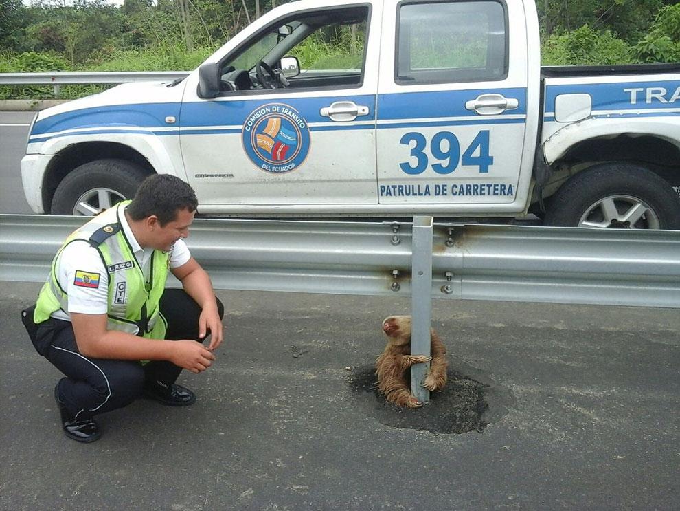Ленивец держится за барьерный столб на шоссе (фото Транзитной комиссии Эквадора, в Кеведо, Эквадор). Транзитные сотрудники полиции, которые патрулируют новое шоссе, нашли ленивца после того, как он, по-видимому, пытался пересечь улицу и вернули животное в его естественную среду обитания. Но прежде его осмотрел ветеринарный врач и нашел в отличном состоянии.