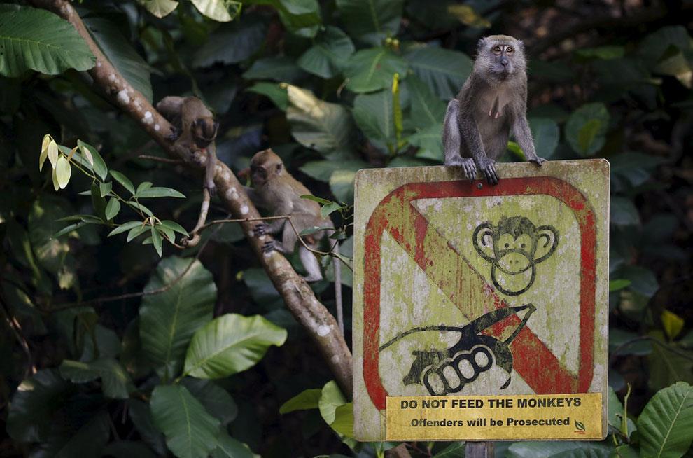Обезьян сидит на знаке «Не кормите обезьян» у входа в заповедник МакРитчи в Сингапуре 25 марта 2016 года (Фото Эдгар Су / Reuters)