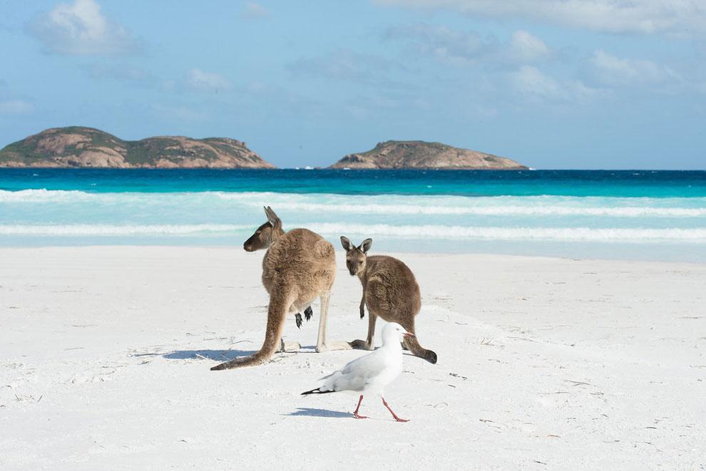 Кенгуру наслаждается нетронутым белым песком Лаки-Бей, Эсперанс, Австралия 16 февраля 2016 года. Лаки-Бей, названный «ошеломляющим белым пляжем» находится напротив такого же пейзажа — архипелага из 110 островов ((Фото: Джеймс Д. Морган / Rex Features / Shutterstock)