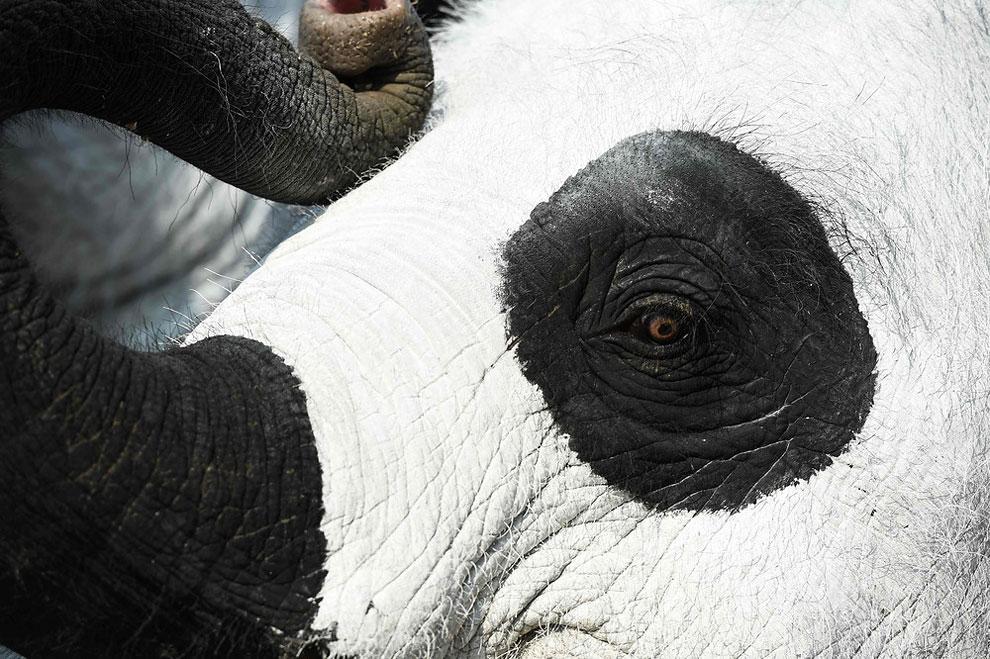 Слон, выкрашенный в панду, позирует для фотографий на Золотой горе в Аюттхая, Таиланд 16 марта 2016 года в рамках пресс-мероприятия WWF, направленного на привлечение внимания к исчезающим видам.