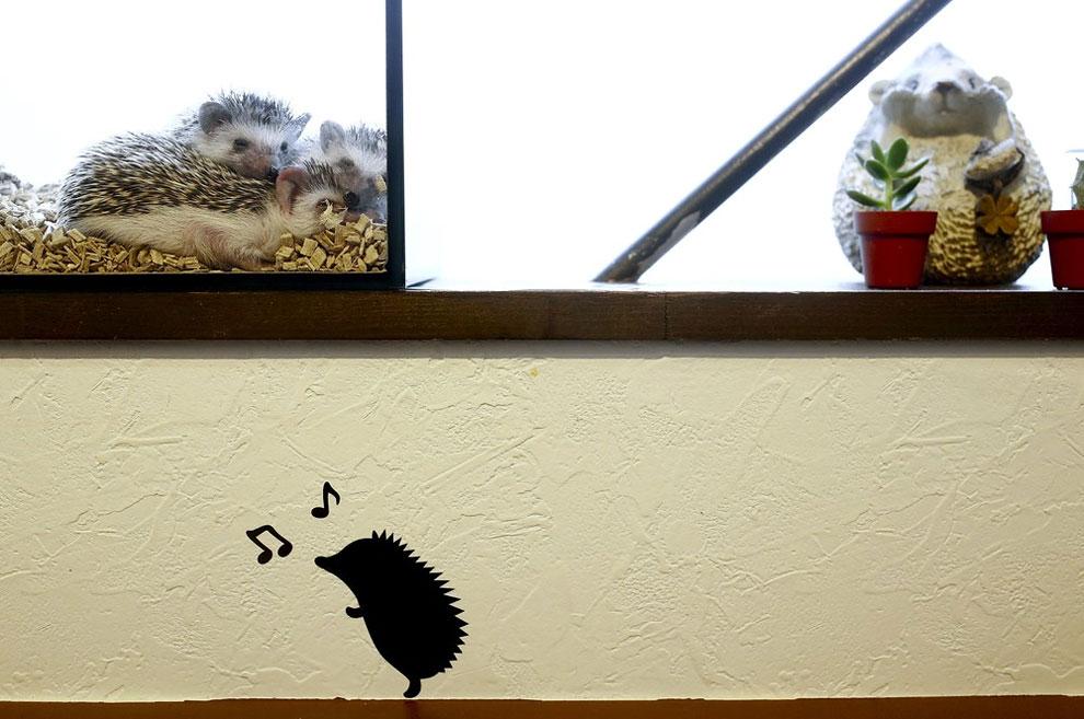 Ежики сидят в стеклянном корпусе в ежином кафе, Токио, Япония, 5 апреля 2016 года. Они развлекают посетителей, издавая звуки из стеклянных банок. Кафе находится в развлекательном районе Роппонги. Сбор в размере 1000 иен ($ 9) в будние дни и 1300 йен в выходные дни за час игры с колючими питомцами помогает им выжить. Ежи давно уже нетипичные, но любимые домашние животные. Сотрудник Мизуки Мурата, который также работает в кроличьем кафе в том же здании, сказал, что магазин был популярен с момента его открытия в феврале, клиентам часто приходится стоять в очереди. Название «Гарри» отсылка к японскому слово «harinezumi» (еж).
