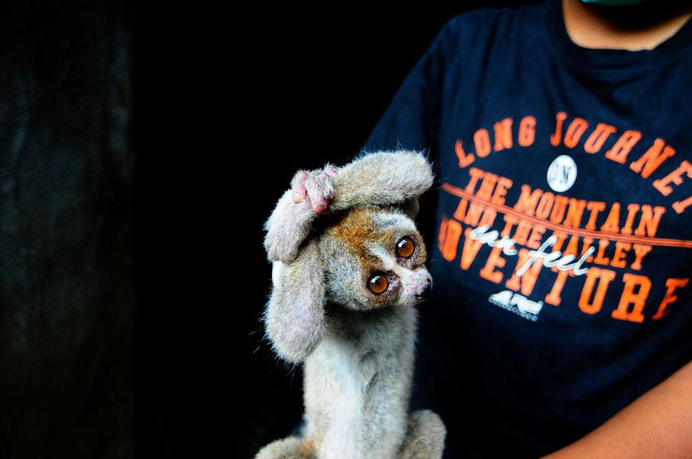 Медицинская команда по международному спасению животных (IAR) лечат конфискованных  яванских лори, прежде чем отпустить, в спасательном центре провинции Западная Ява , Индонезия. Медленный яванский лори находится на грани вымирания.