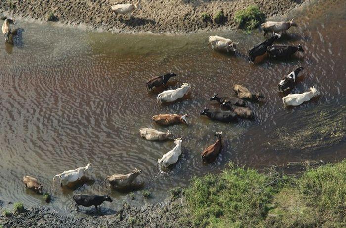 Стадо коров в реке Тезе, Волгореченск, Ивановская область