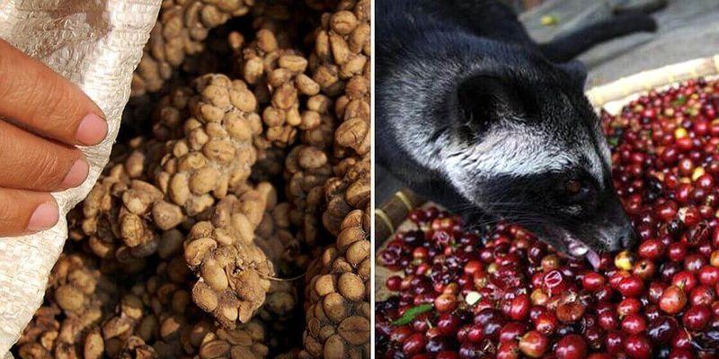 The worlds priciest foods  Civet coffee aka kopi luwak