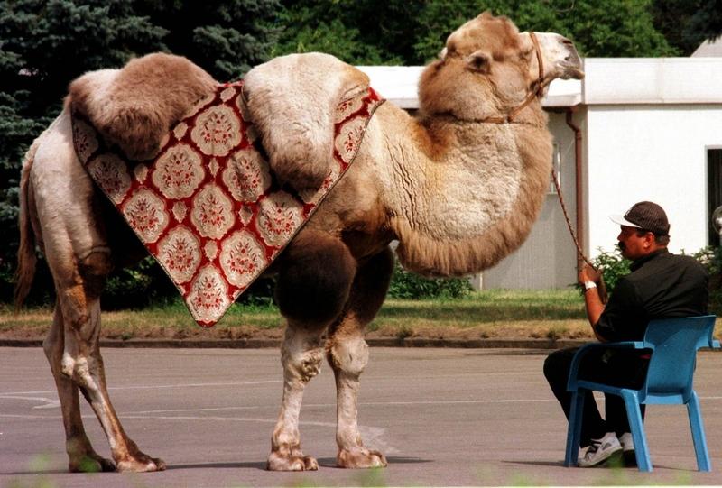 Верблюд в центре Москвы 1997 г.