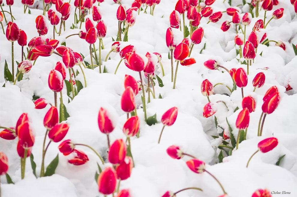 Тюльпаны на самой большой ферме Молдовы попали под снег