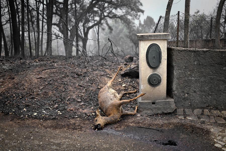 Мертвый олень лежит на обочине дороги в зоне лесного пожара в Vila Pedro, 19 июня 2017.