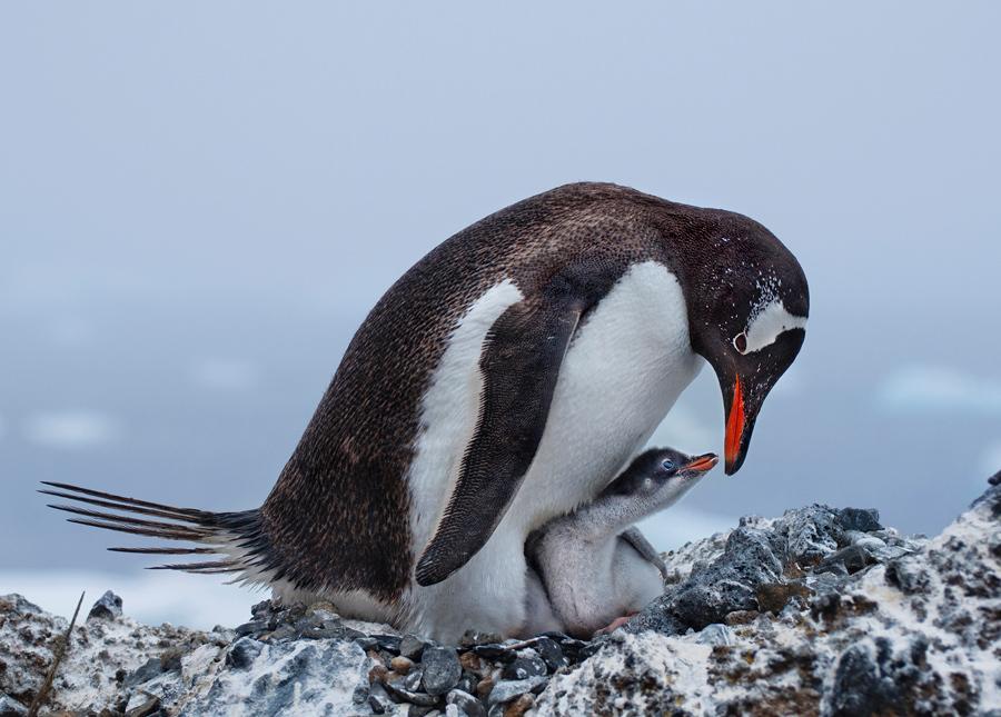 Субантарктический пингвин.