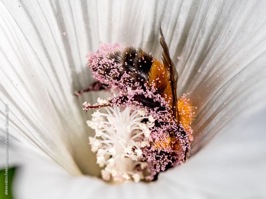 Купание шмелей в цветах