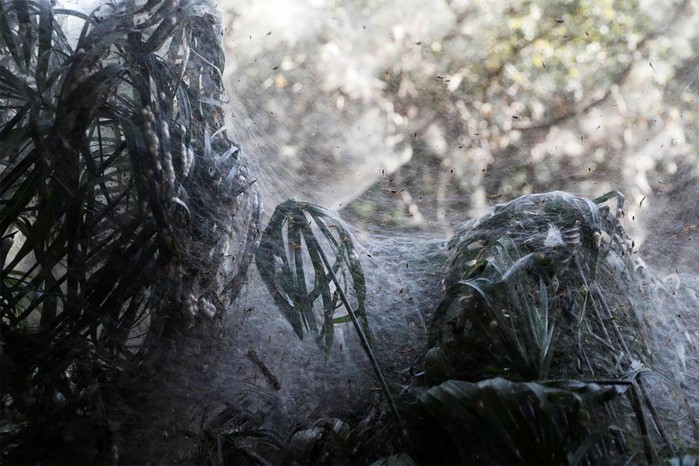 Гигантская паутина захватила Иерусалимский лес