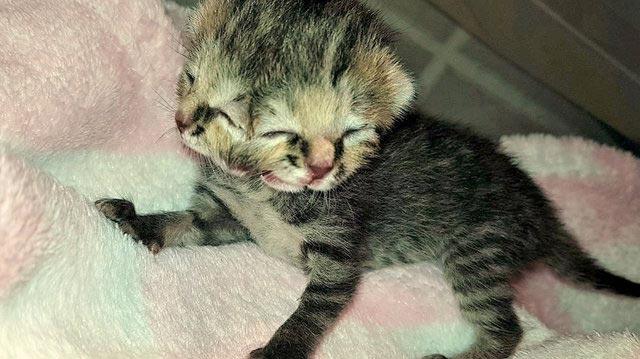 Котенок с двумя лицами Бетти Би