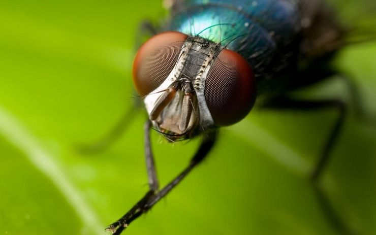 Зачем муха трёт свои лапки