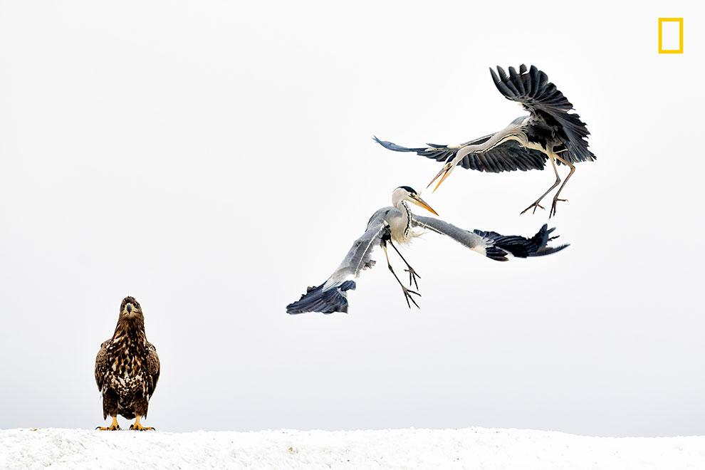 Две серые цапли и белохвостый орел.