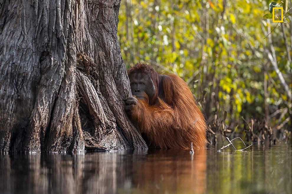 Орангутанг выглядывает из-за дерева, пересекая реку в Борнео, Индонезия.