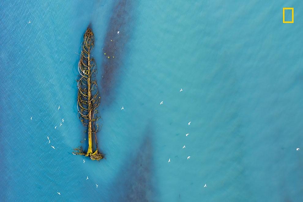 Мигрирующие чайки пролетают над кедровым деревом, которое плывет по течению ледниковой реки в Британской Колумбии, Канада.