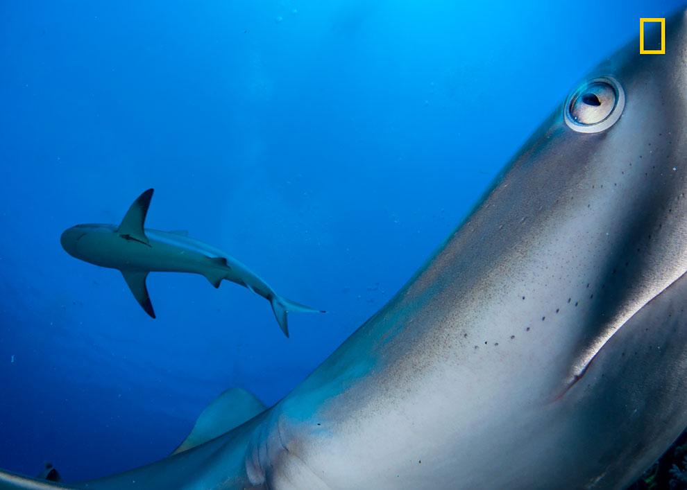 Как правило, застенчивая, карибская рифовая акула, исследует камеру с дистанционным управлением.