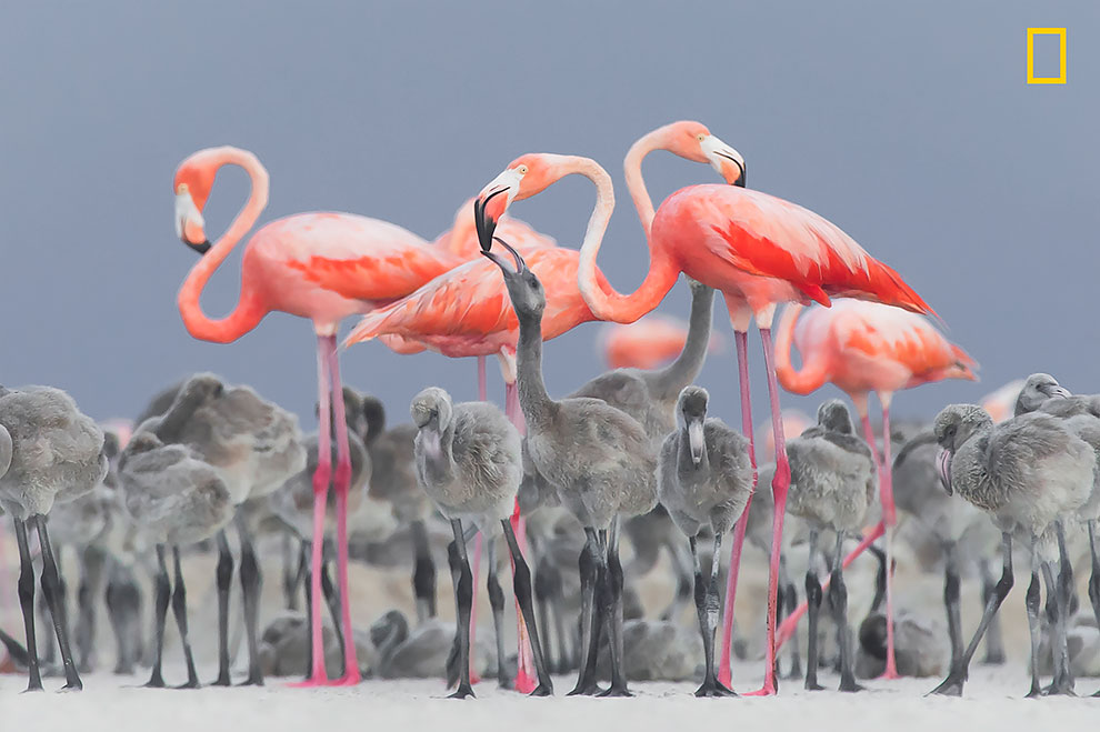 Карибские розовые фламинго кормит детенышей в Юкатане, Мексика.