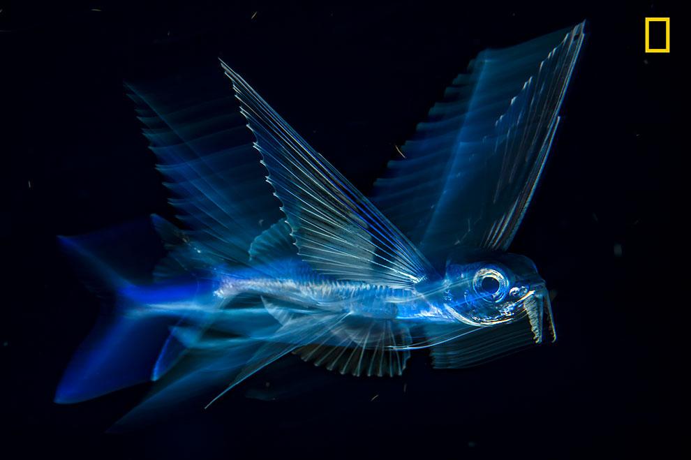 Летучая рыба в темноте.