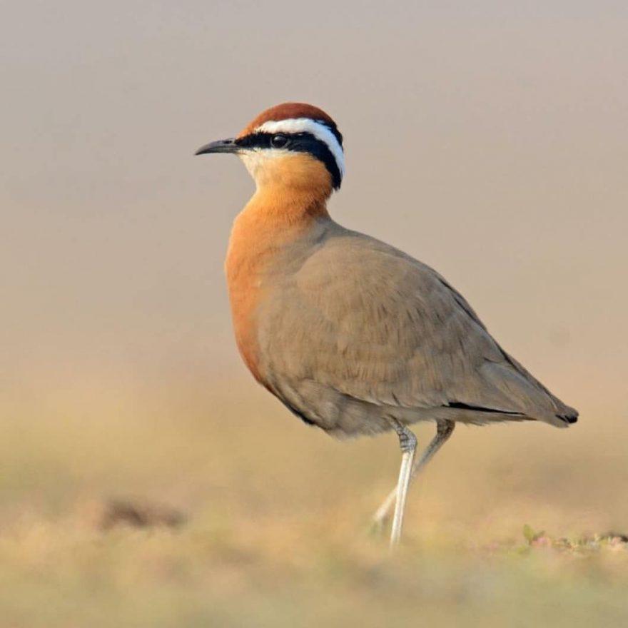 Птицы Индии: фантастические фотографии птиц от Рамаканта Кулкарни