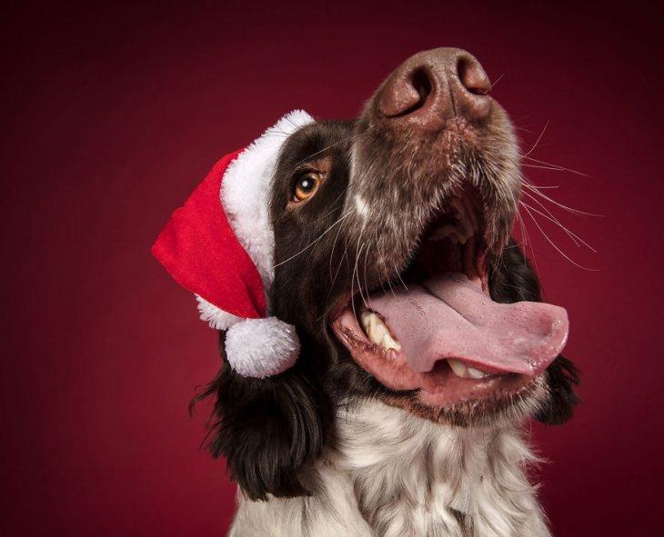 Фотосессия собак готовящихся к Новому Году!