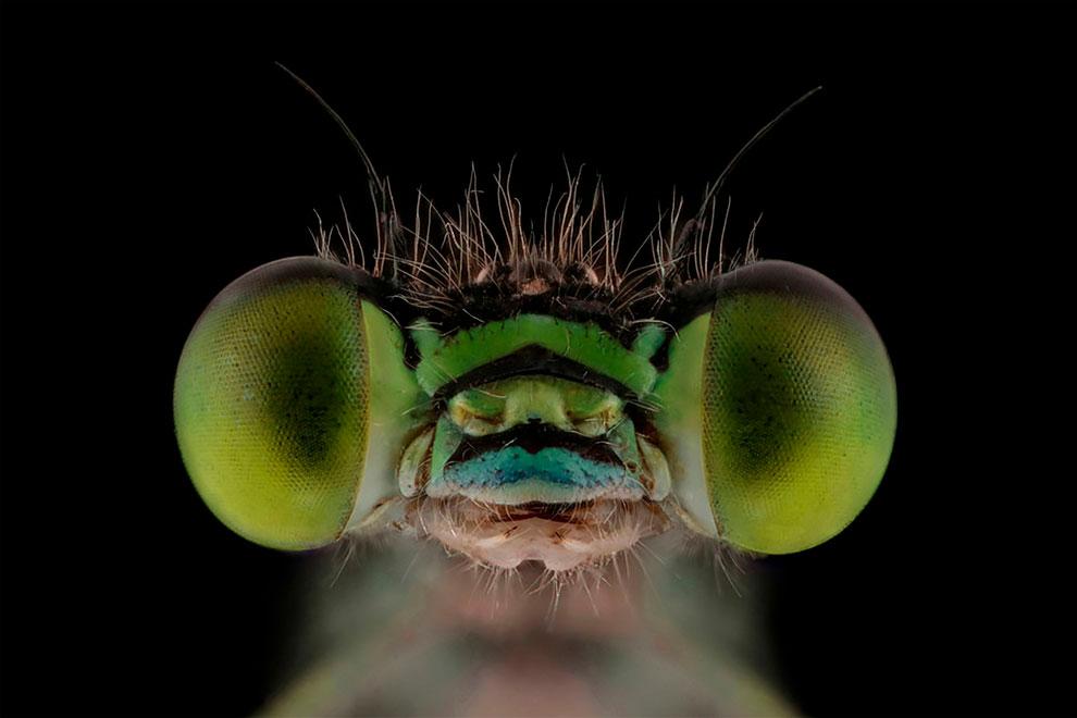 Лица: Фантастические макро фотографии насекомых Мофида Абу Шалвы