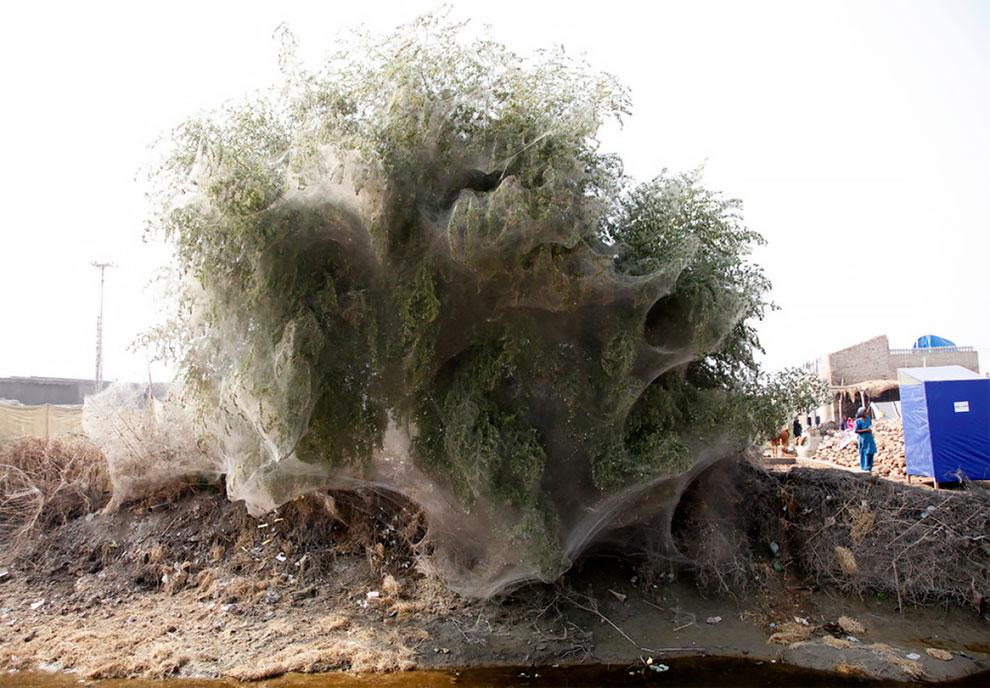 В Пакистане обнаружены футуристические коконовидные деревья